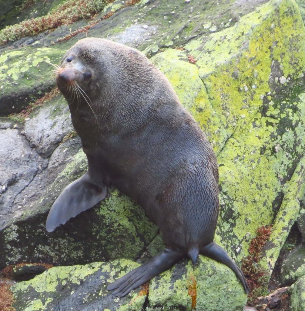 Curious fur seal at Tauranga Bay