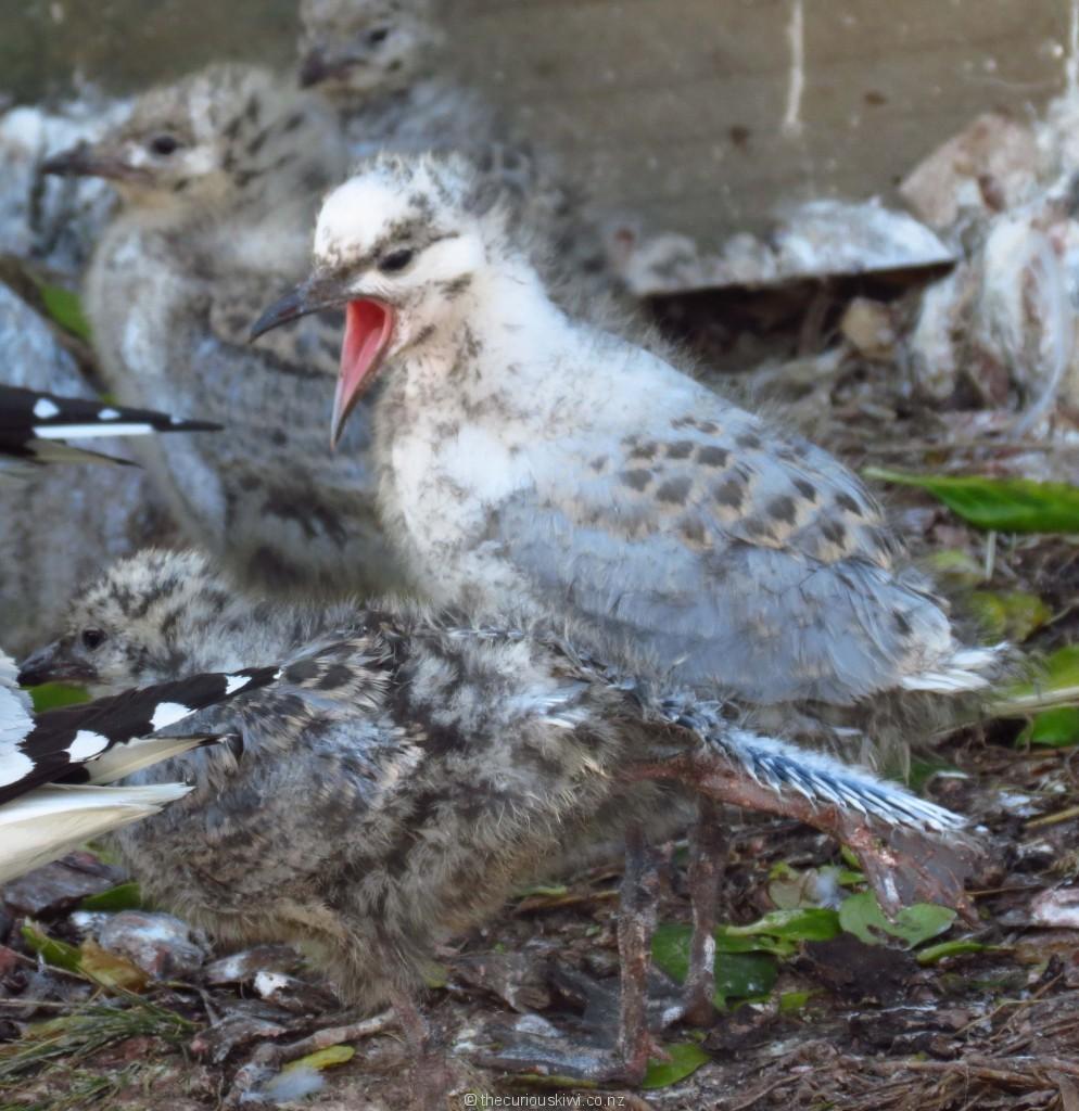 Sea gull chicks at Royal Albatross Centre