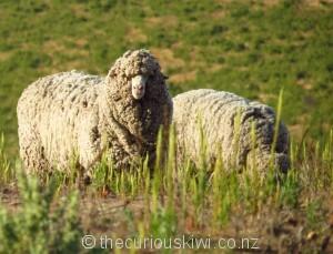 Merino sheep at Bendigo
