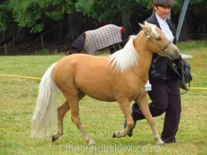 Miniature horse competing at Rotorua A&P Show