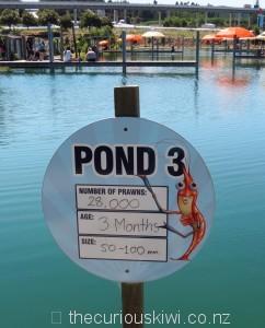 28,000 prawns in Pond 3