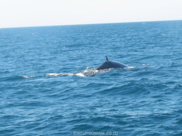 An accidental and only shot of a Bryde's whale