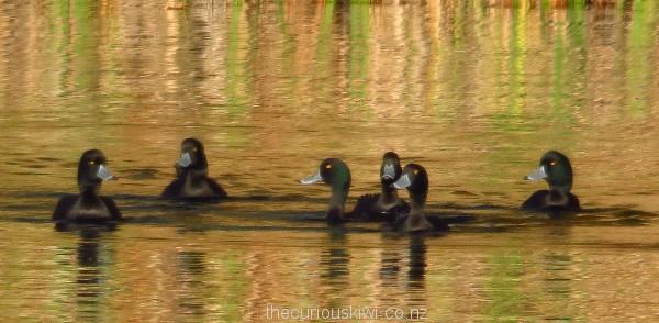 Scaup on Lake Okareka