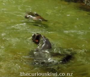Seals play fighting in Ohau Stream pool