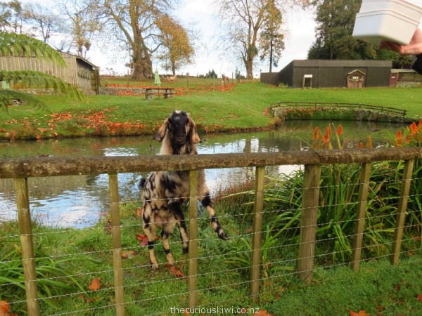 Friendly billy goat