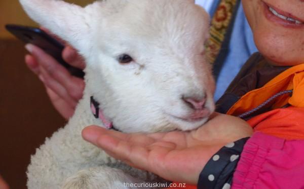 Little lamb, many fans