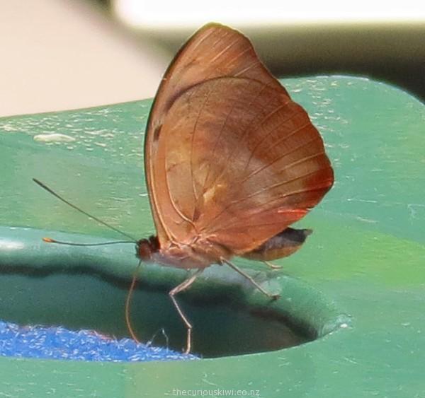 The extended proboscis - drinking nectar