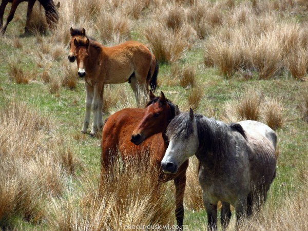 Kaimanawa horse family