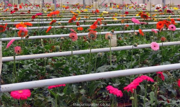 Gerbera plants at PlentyFlora