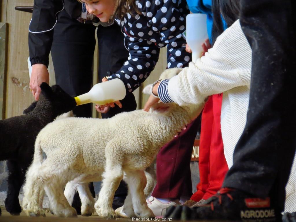 Bottle feed a lamb at Agrodome Rotorua