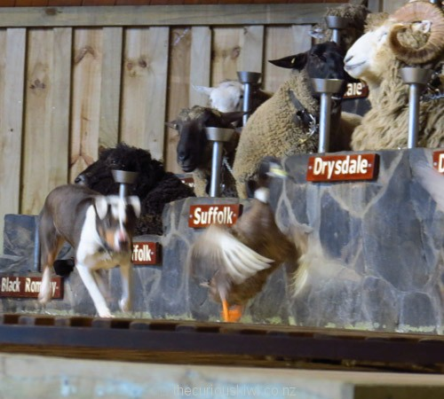 Duck herding at an Agrodome Farm Show