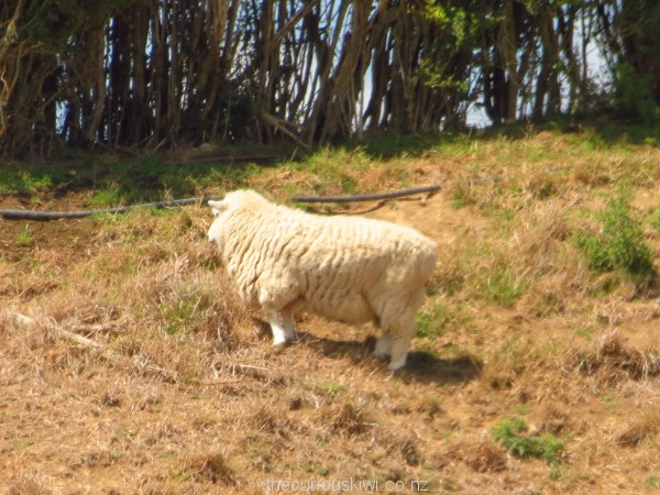 Is this sheep real?