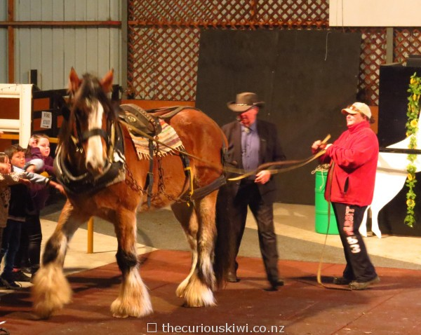Beautiful big Clydesdale
