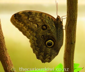 Owl butterfly - a big eye spot that looks like an owl's eye. Likes to eat rotten bananas.