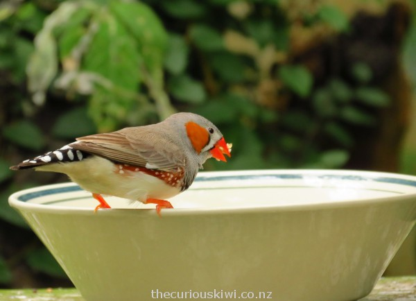 A rare moment when the finch wasn't flitting around