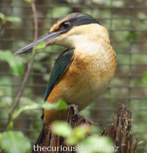 NZ kingfisher/kotare