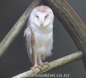 Tahi, the Australian barn owl