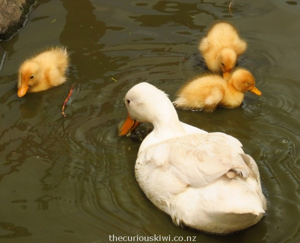 Adorable ducklings