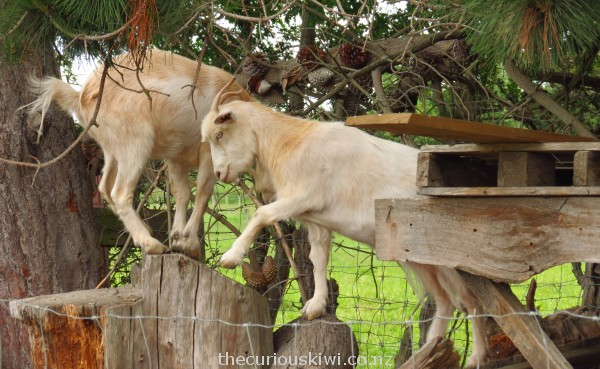 Goats on their jungle gym
