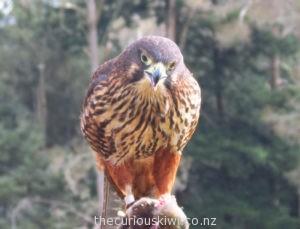 Atareta the falcon at Wingspan Bird of Prey
