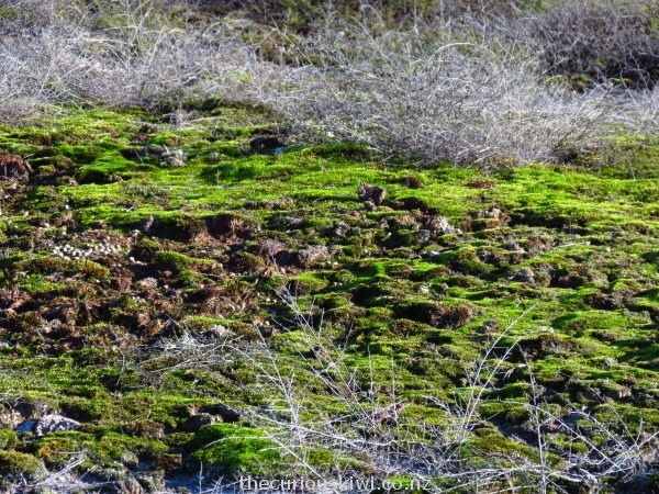 Moss that thrives in a hot environment