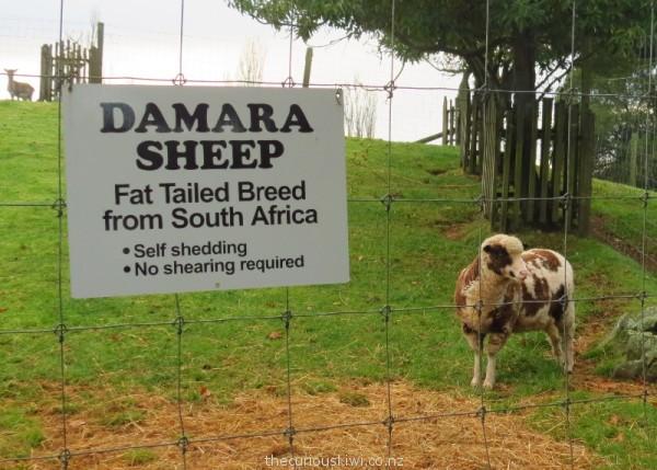 Damara sheep - no shearing required