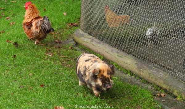 Love at first sight - Kunekune piglet