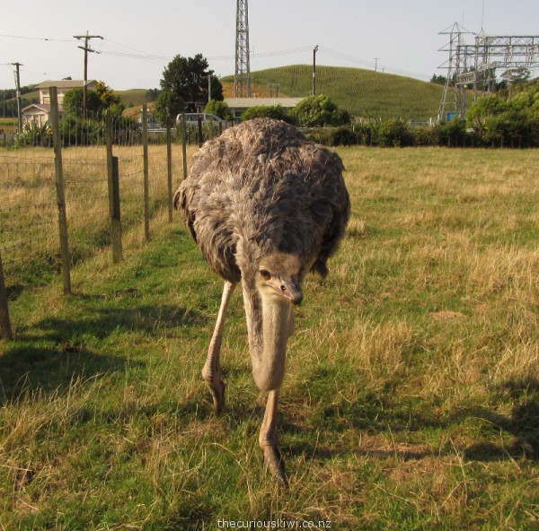 Victoria the friendly ostrich