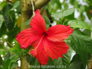 Hibiscus can be found in Dunedin