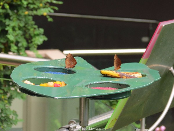 The butterflies are fed fruit and artificial nectar made from sugar and water