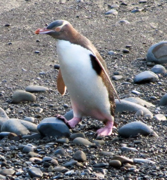 Yellow-eyed penguin at Roaring Bay, the Catlins