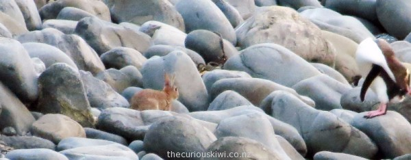 Rabbit and penguin at Roaring Bay, the Catlins