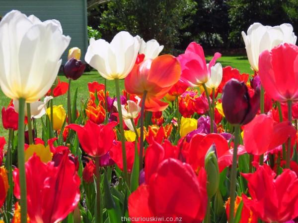 My favourite tulip garden - near Children's Art House in Government Gardens