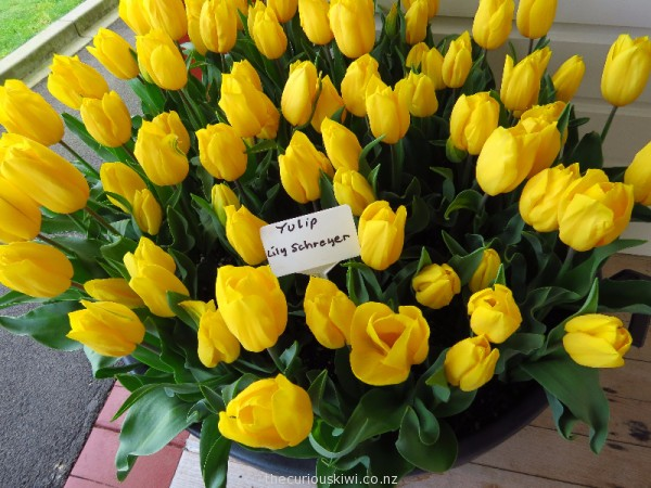 Beautiful Lily Schreyer tulips at Tulip Fest HQ