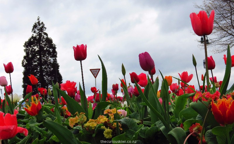 Tulips at the lake front end of Fenton Street