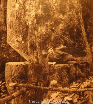 Tudor Collins lies in the scarf (wedge-shaped cut) of a mighty kauri tree