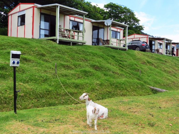 Cabins and goats at Opononi Holiday Park