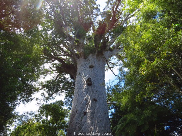 Tane Mahuta in Waipoua Forest