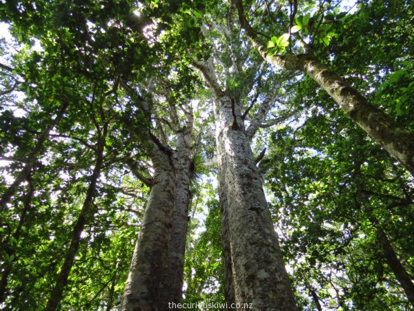 Four Sisters in Waipoua Forest