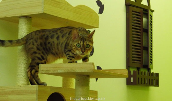 Doupi the Bengal at Fancy Meow Cat Cafe
