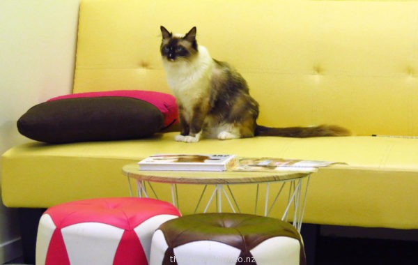 Dennis the Ragdoll at Fancy Meow Cat Cafe