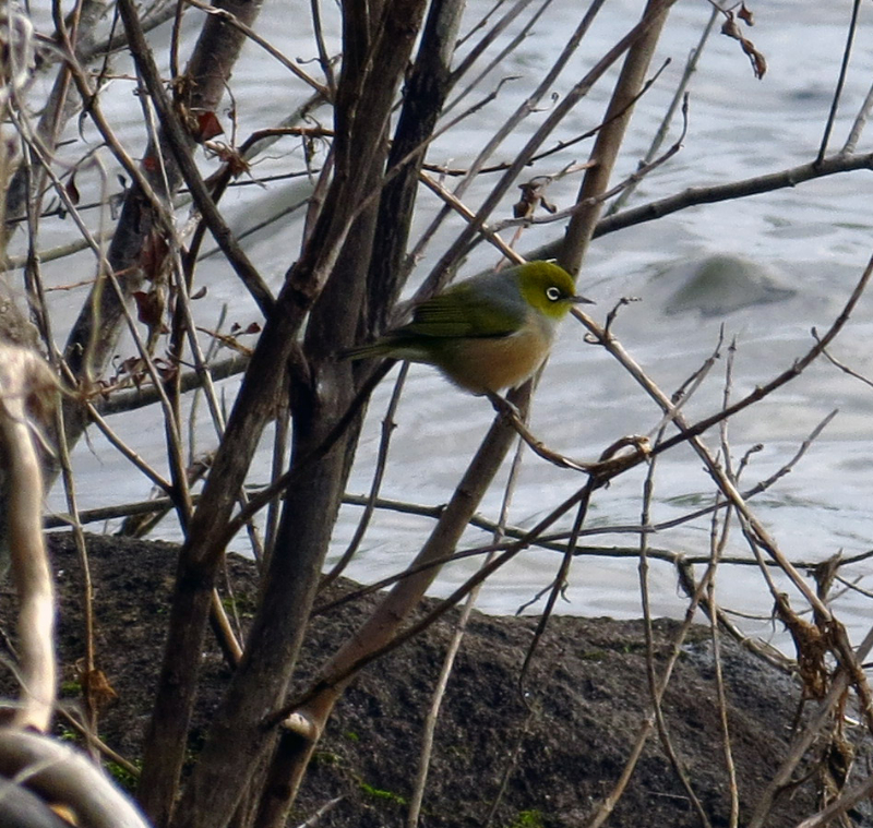 Silvereye on Lake Okareka Walkway