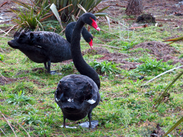 Black swans - Lake Okareka Walkway
