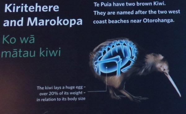 Brown kiwi information