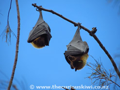 Flying Foxes hanging upside down