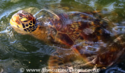 Turtle at Malua Turtle Pond