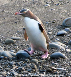 Yellow-Eyed Penguin at Roaring Bay