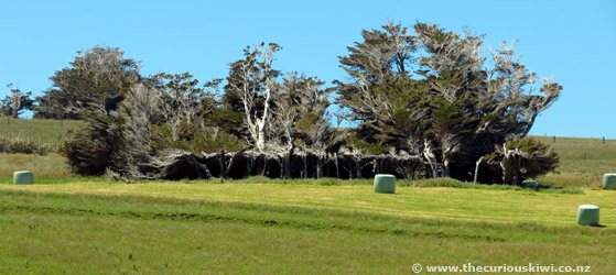 Windswept trees at Slope Point in The Catlins