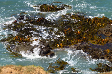 Seaweed at Slope Point