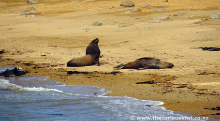 Sea lions at Waipapa Point